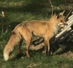 foxmom w chipmunk.jpg